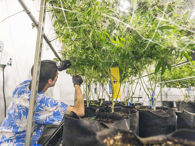 Legal marijuana industry jobs can grow your career